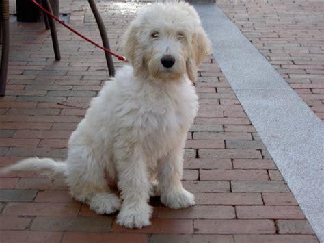 White Goldendoodle Dog Animals Pinterest