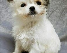 cheenese havanese  chihuahua mix info puppies pictures