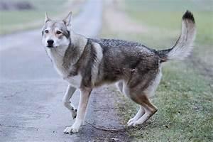 Wie Sieht Ein Hummelnest Aus : der hund sieht aus wie ein wolf wolfhunde sorgen f r aufregung ~ Yasmunasinghe.com Haus und Dekorationen