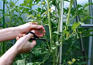 Cutting Leaves On Tomatoes  Learn About Cutting Back