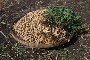 Curing Peanuts