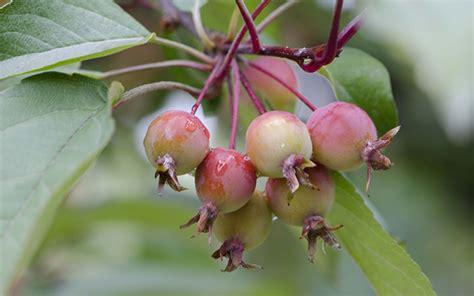 best apple tree for small garden 15 best trees for small gardens beautiful small trees