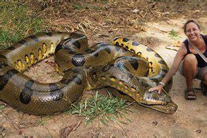 jaw dropping facts   biggest anaconda  record