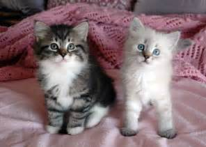 siberian cat for cats and kittens siberian