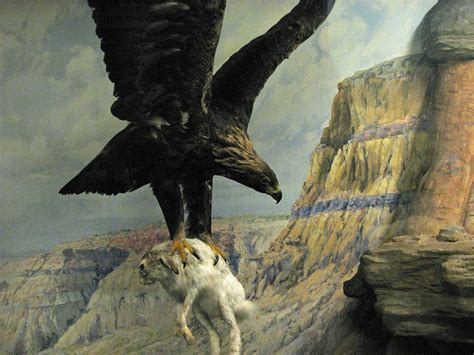 File:Mounted hunting Golden Eagle.jpg - Wikimedia Commons