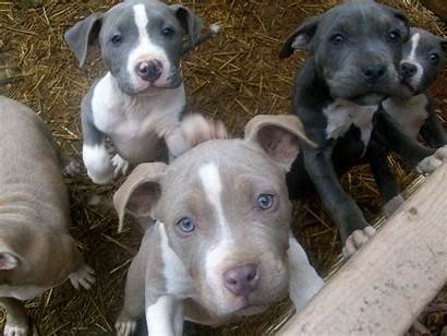 Pitbull Dog Puppies Puppy Pit Wallpapers Bull