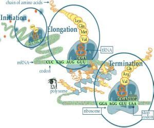 Protein Synthesis Steps  Protein Synthesis. Clemson University Admission Requirements. Auto Accident Lawyer Tampa Ala Moana Security. Online Associate Degree In Business. Suffolk Community College Classes. Healthcare Administrator Certification. Quick Auto Insurance Calculator. Sales Tracking Software Reviews. Silver Glide Stair Lift Email Signature Maker