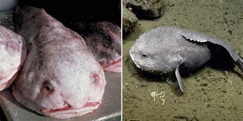 blobfish  laut  hodohkah   patriots