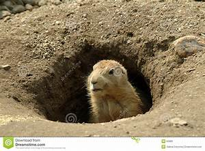 Groundhog in his hole stock image. Image of animal ...