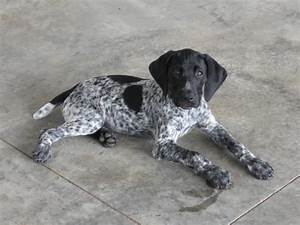 """Tessa, """"Yes it's me"""", our black GSP 
