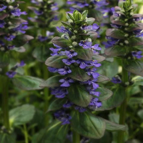 blue ground cover flowers friends of the libraries of foster perennial plant sale plant list