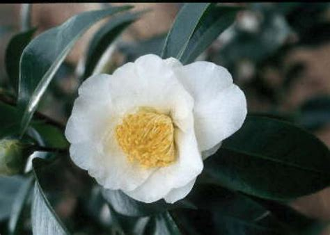 growing camellias hgtv