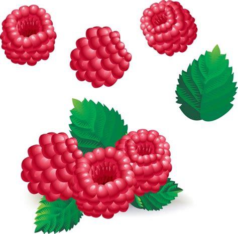 raspberry vector  vector    vector