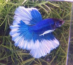 389 best images about Alpha Bettas on Pinterest | Auction ...