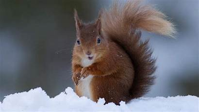Squirrel Snow Wallpapers Animals Hdnicewallpapers Charming