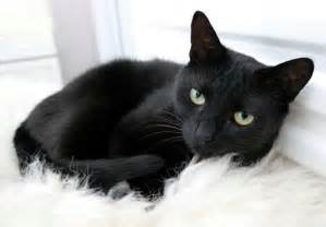black cat breeds black cat why think it means bad luck cats breed