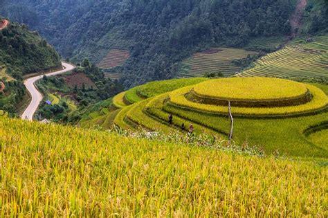 stunning beauty rice terraces  vietnam