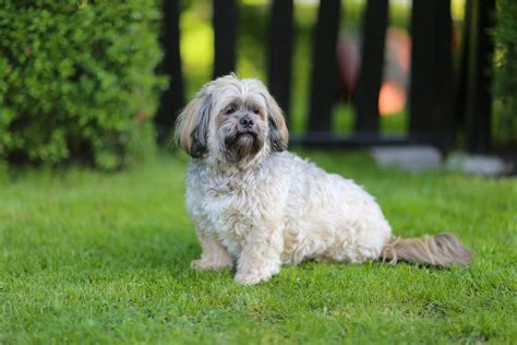 Why Is My Lhasa Apso Shedding by Lhasa Apso Dogs Breed Information Omlet