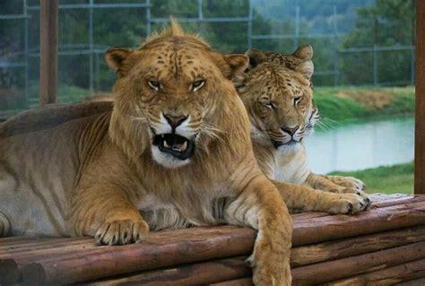 lion  tiger matingpet  gallery lion pet
