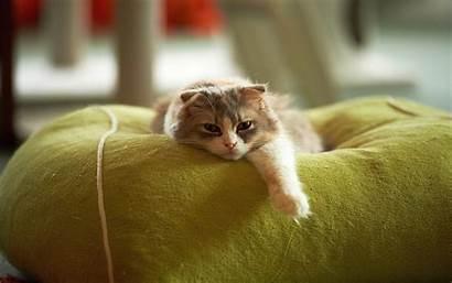 Cat Lazy Funny Desktop 4k Wallpapers