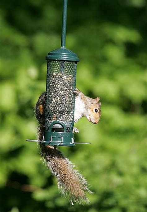 brome squirrel buster mini 1055 squirrel proof bird feeder