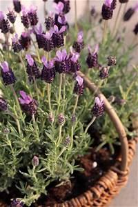Lavendel Pflanzen Im Topf : lavendel lavandula pflege anleitung schneiden ~ Frokenaadalensverden.com Haus und Dekorationen