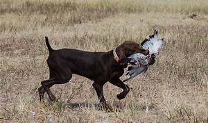 German Shorthaired Pointer Life Expectancy 9 Background ...