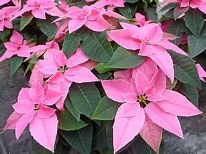 Weihnachtsstern Pflanze Kaufen : weihnachtsstern euphorbia pulcherrima pink princettia ~ Michelbontemps.com Haus und Dekorationen