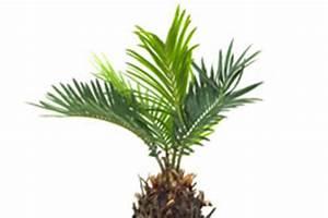 Palme Gelbe Blätter : palme braune und gelbe bl tter amp spitzen ~ Lizthompson.info Haus und Dekorationen