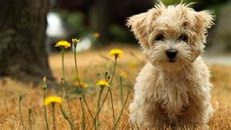 top 10 dog breeds with little to no shedding