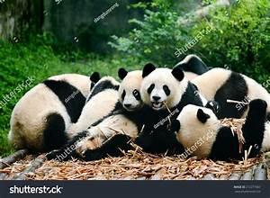 Group Cute Giant Panda Bear Eating Stock Photo 212277067 ...
