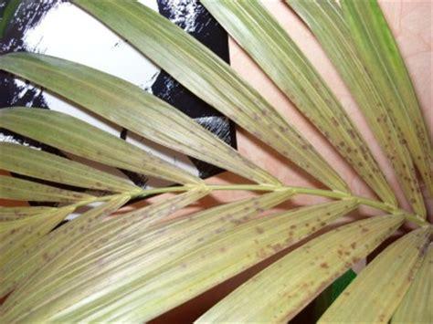 feige blätter braune flecken kentia palme pflege kentia palme ist mit richtiger pflege eine anschaffung palmen pflege der