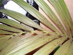 Palme Gelbe Blätter : braune flecken bei kentia palme gelbe bl tter ~ Lizthompson.info Haus und Dekorationen