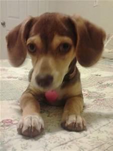 Queen Elizabeth Pocket Beagle Full Grown