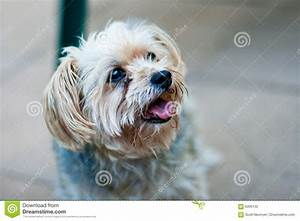 A Maltese/yorkie Mix-breed Dog Looks Off Camera Stock ...