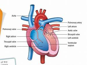 The Circulatory System Diagram No Labels | www.pixshark ...