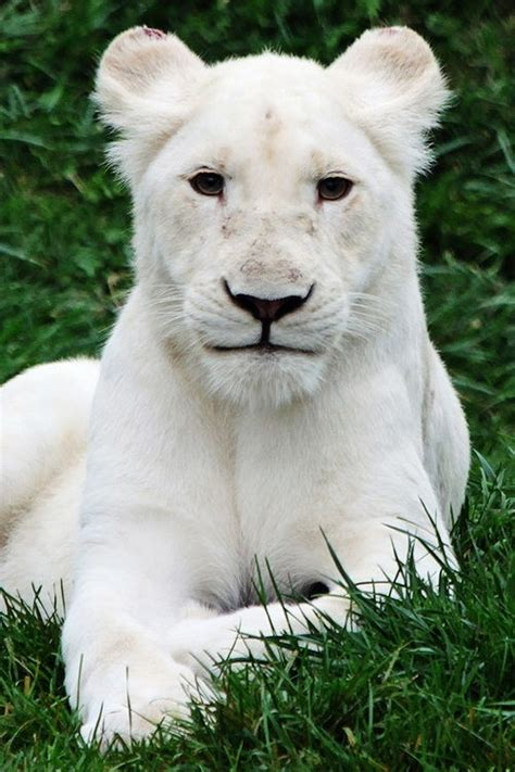 Albino Lion Beautiful Lions Pinterest