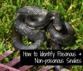 How Identify Poisonous Snakes