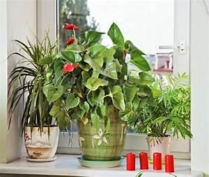 Robuste Zimmerpflanzen Groß : sch ne zimmerpflanzen erf llen die rolle von dekoration ~ Sanjose-hotels-ca.com Haus und Dekorationen