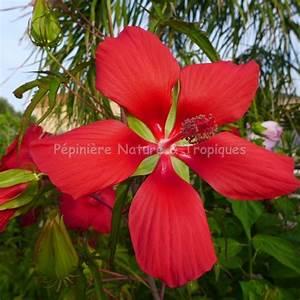 Plantes Exotiques Rustiques : hibiscus coccineus hibiscus rustique rouge p pini re ~ Melissatoandfro.com Idées de Décoration
