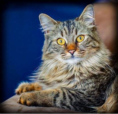 Coon Maine Cat Cats Breeds Exotic Facts