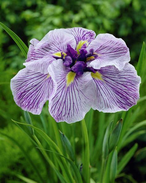 japanese water iris caprician butterfly garden