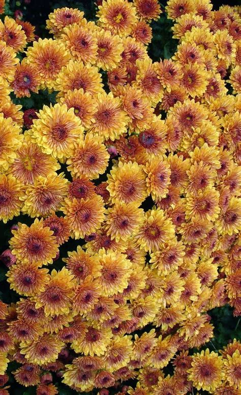 fall mums fall mums flowers pinterest