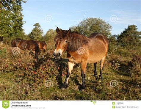 dartmoor ponies wild heath sunshine late close