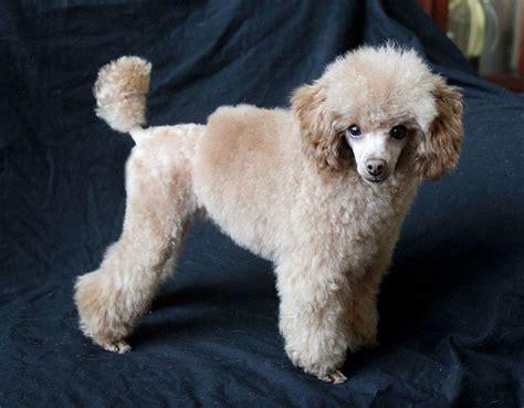 17 Best Ideas About Poodle Haircut On Pinterest
