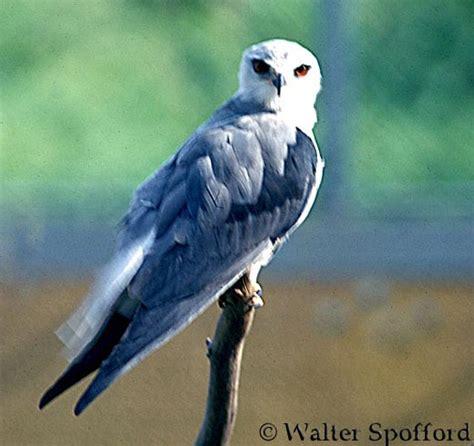 white tailed kite elanus leucurus  explore raptors facts habitat diet  peregrine fund