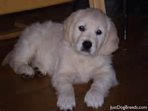 Low Shedding Dogs With Pictures by Martha Golden Retriever Dog Breeds