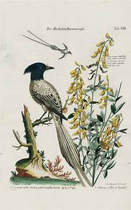 Pica Orientalis  Cytisus Racemis From George Edwards