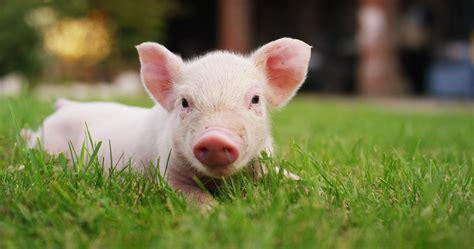 8 dingen die je moet weten tamme varkens