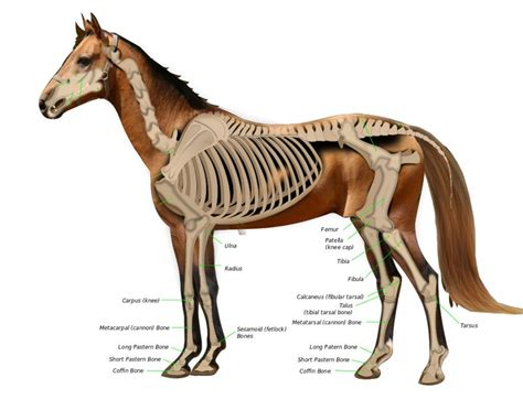 horse leg broken legs bones many why anatomy they animals knee diagram its euthanize